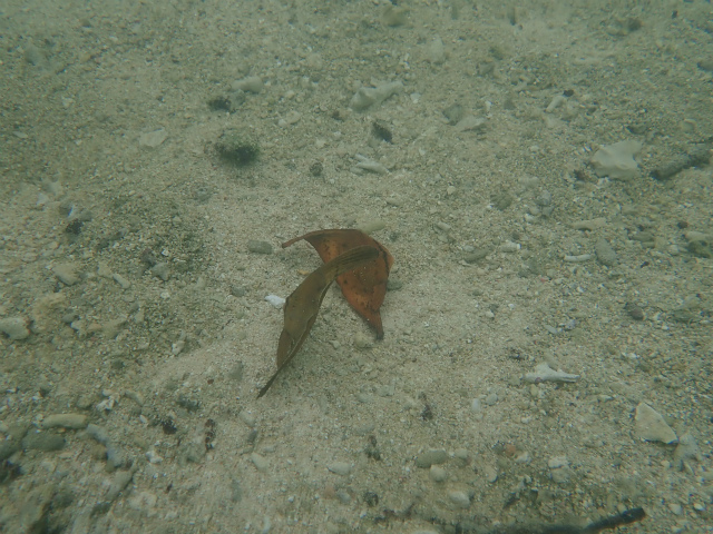 宮古島ナンヨウツバメウオ幼魚